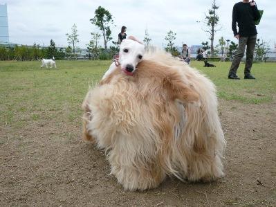 モハモハ犬
